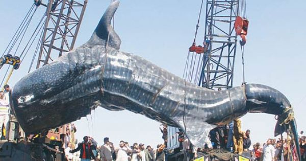 Eight Ton Whale Shark Hauled Out Of The Water Largest