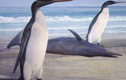 They stood as high as 4.2 feet, slimmer than modern penguins, with a long beak and flipper