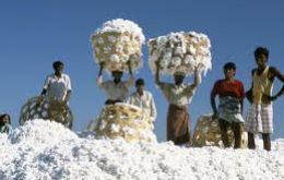 India is the world's second producer of cotton. The Indian cabinet remains divided on the decision