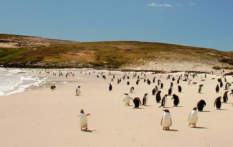The Islands have the largest gentoo population in the world and second in Rockhopper penguins (Photo: S. Jaffray)