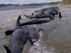 Members of environmentalist groups take samples from dead dolphins