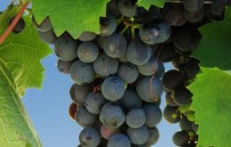 Originally from France the Malbec grape that found its natural environment in Argentina