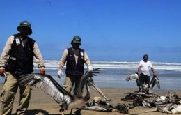 Hundreds of dead pelicans and dolphins have appeared along the northern coast of Peru (Pic by Efe)