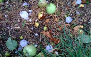 An area of 6.500 hectares of orchards were damaged by hail