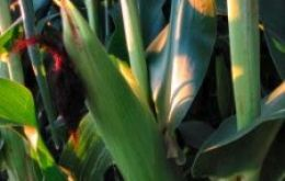 USDA anticipates a record maize crop in the US