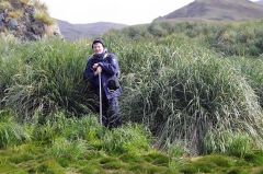 Henrik I. Eira from the Norwegian Nature Inspectorate in tussac grass in an area un-grazed by reindeer