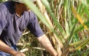 Many Guarani people had been driven off their land to plant sugar cane