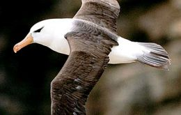 The Black-browed albatross has been classified as endangered since 2003 in the IUCN Red List.