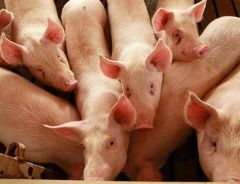 The closing of the Argentine and Russian market for Brazilian pork has been a hard blow