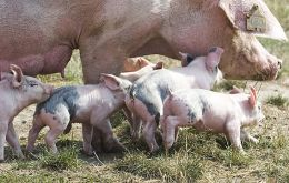 The hog industry of Matto Grosso do Sul has made the official request