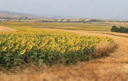 Yellow and black fields of sunflower in the rolling plains of Russia