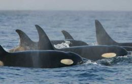 The killer whales at Sea Lion Island are featured in the BBC Natural History Unit's series 'Life'.