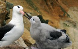 Latest reports indicate a healthy increase in the numbers of black-browed albatrosses  (Photo by Jeff Shea)