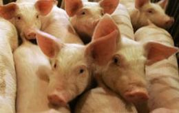 In the first nine months of the year, half a million pigs have been culled and destroyed