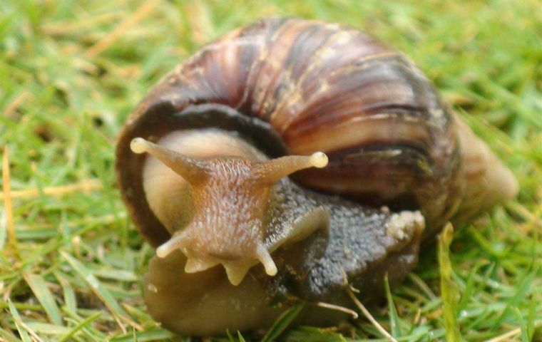 Achatina fulica was probably introduced from Brazil, suspect Paraguayan officials