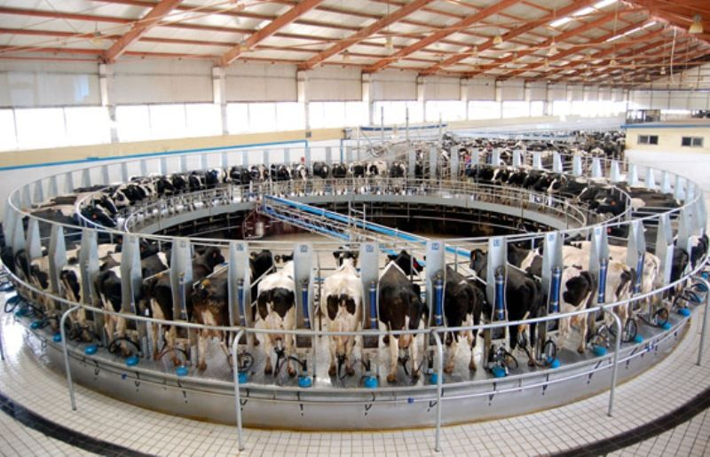 dairy farm with 8 000 milking cows when in full production 2015Dairy Cow Farm