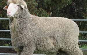 Sanitary officials recommend producers should only buy rams from an Ovine Brucellosis Accredited Stud