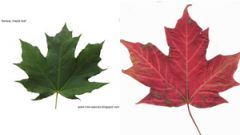 Botanist Sean Blaney who tracks Canadian plants spotted the mistake: on the right the sugar maple