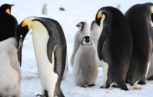 Emperor Penguins: Adults and chicks (International Polar foundation)