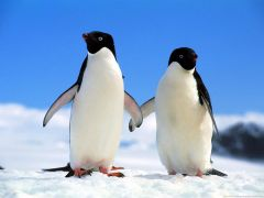 A pair of Adelie penguins before going for a 'feed dip'