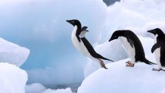 Adelie penguins can only survive in a sea ice environment