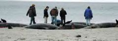 Falklands Conservation staff collecting valuable information from the dead whales (Photo: PN)