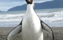 "Last year an Emperor penguin, ""Happy Feet"" also appeared in NZ shores"
