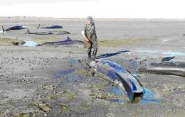 The high tide helped with the rescue of the cetaceans (Pic: La Prensa Austral)