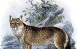 The canine presence in the Falklands puzzled Darwin who also forecasted their extinction