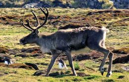 Norwegian whalers introduced the reindeer South Georgia in the early 1900s