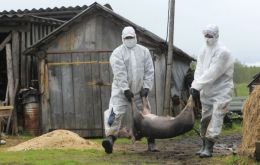 Russian authorities sacrificing infected pigs