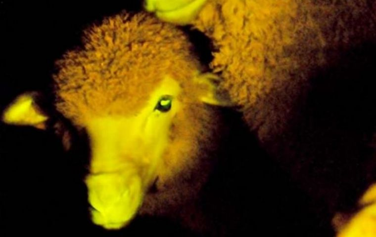 One of the nine GM 'luminous' lambs reacts with green fluorescence