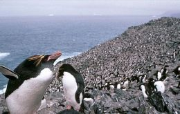 Gentoo, Rockhopper and Magellanic are widespread in rookeries along the Falklands
