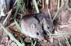 The mice which can transmit the viral disease appear in crop areas