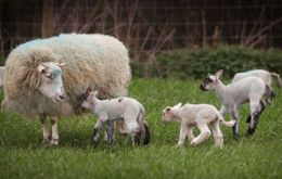 The virus emerged in Europe in 2011 and can lead to sheep and cattle having stillborn or deformed offspring