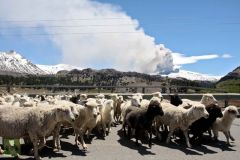 Sheep walk with the Copahue volcano spewing ashes in the background in Neuquen province ^(Photo AFP)