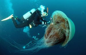 A huge jellyfish or an exotic delicatessen for ambitious gourmets