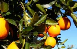 According to official stats, 36.700 hectares of orange groves have been uprooted in the last twelve months