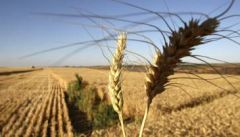 Wheat farmers complain of the lowest production in decades because of government policies