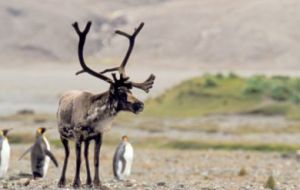 Norway said it is collaborating in eliminating the reindeer population in South Georgia