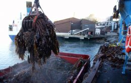 FMC Biopolymer extracts the algae for processing from the 'forests of giant kelp' surrounding Norway (Photo: S. Rasmussen)