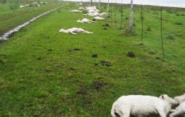 Dead freshly sheared sheep in the paddocks and fields