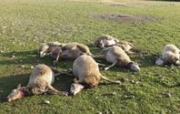 The dead adult sheep following the five-day storm