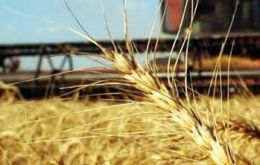 Wheat production in Argentina could reach 12 million tons according to the USDA