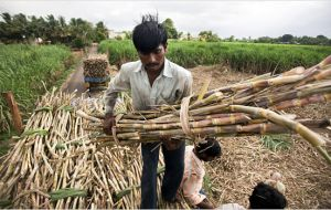 India is the world's second producer of sugar cane