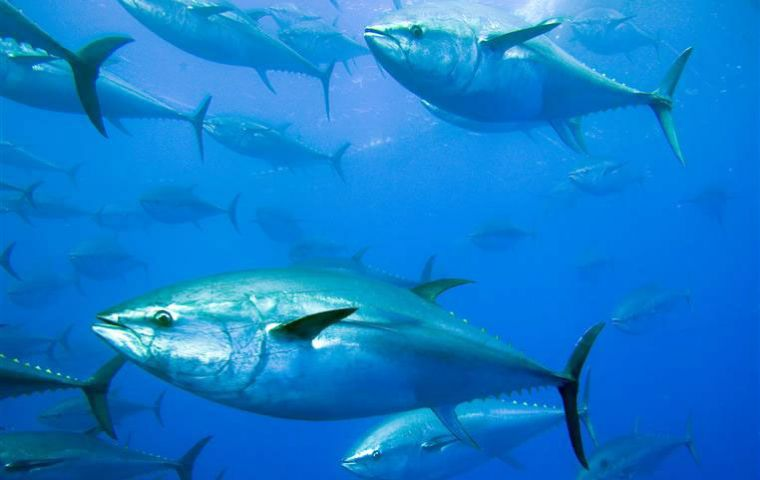 Highly migratory tuna account for about 20% of the value of all marine capture fisheries