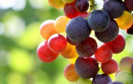 The country is also the world's main exporter of fresh grapes with 20.6% of the market