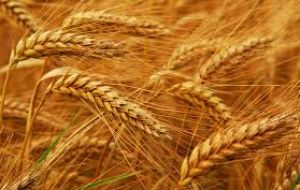 The wheat yield per hectare increased 200 kilos over the last harvest