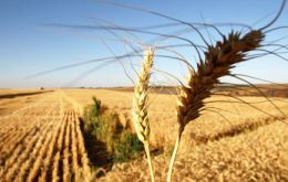 Wheat production was 7.8% higher last year