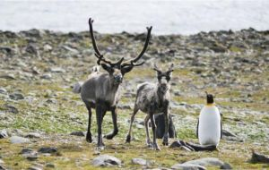 Reindeer were introduced in the island by whalers in the early 1900s